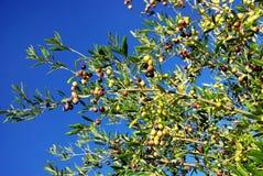 Olives on tree Stock Photo