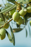 Olives on a tree stock image
