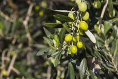 Olives in a tree Stock Image