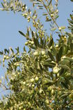 Olives tree Royalty Free Stock Image