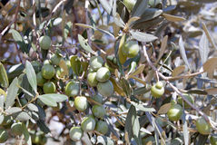 Olives on a tree. Sunny day, Sicily, Olive plantation near place Siacca Stock Photos