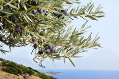 Olives on the tree. Stock Image