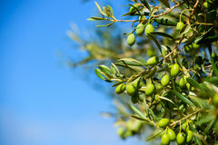 Olives on the tree against blue sky. Background Stock Images