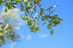 Olives on the tree against blue sky. Olives on the tree ,blue sky, copy space Royalty Free Stock Image