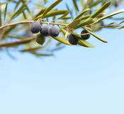 Olives on the tree against blue sky Stock Photo