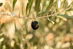 Olives in Tree - black Royalty Free Stock Photos