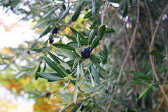 Olives on a tree branch Stock Images