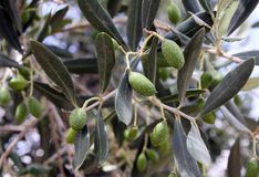 Olives on a tree branch Royalty Free Stock Photos