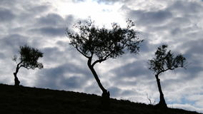 Olives tree on a cloudy day timelapse. Olives tree on a cloudy day at timelapse stock video footage