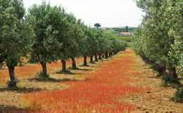 Olives tree in colored field. Royalty Free Stock Photos