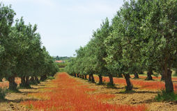 Olives tree in colored field. Royalty Free Stock Photo
