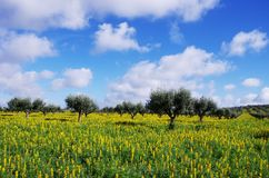 Olives tree in field at  Portugal Stock Image