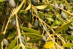 Olives, tree, fruit Royalty Free Stock Images