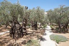Olives tree Royalty Free Stock Photo