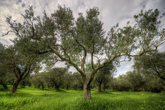 Olives tree in a green field and dramatic sky Stock Photo