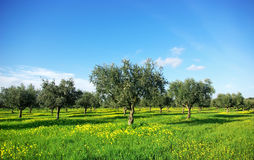 Olives tree in green field at  Portugal. Royalty Free Stock Images