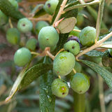 Olives on the tree Royalty Free Stock Image
