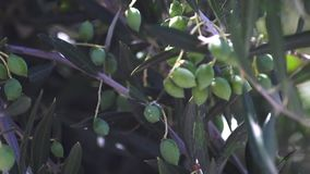 Olives in the tree moving in the wind stock video footage