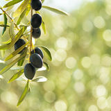 Olives tree, with negative space of a green bokeh background Royalty Free Stock Photos