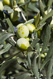 Olives. On a tree not yet collected Royalty Free Stock Photography