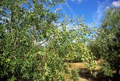 Olives tree at Portugal. Stock Photography