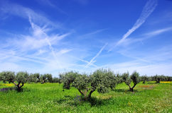 Olives tree at portuguese field. Stock Photos