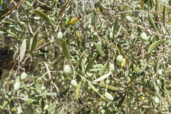 Olives in the tree Royalty Free Stock Images