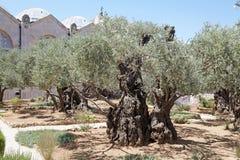 Olives tree Stock Photos