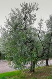 Olives tree in Tuscany, Italy Stock Image