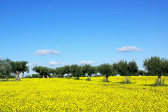 Olives tree in yellow field . Royalty Free Stock Photos