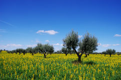 Olives tree in yellow field Royalty Free Stock Photo