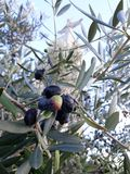 Olives trees in the garden of Cristo Rei stock image
