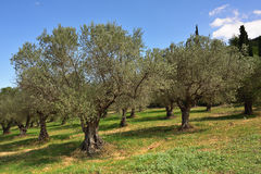 Olives trees grove, Greece Royalty Free Stock Photography