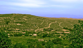 Olives trees, located in Jaen, Andalucia, Spain Royalty Free Stock Photos