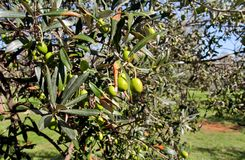 Olives vertes dans une branche d'olivier L'olivier avec les olives vertes, se ferment  Concept des olives, tradition photo stock