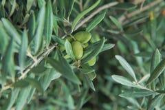 Olives vertes dans une branche d'olivier L'olivier avec les olives vertes, se ferment  Concept des olives, tradition Oliviculture photos stock