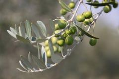 Olives vertes sur l'arbre Image libre de droits