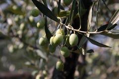 Olives vertes sur l'arbre Image stock