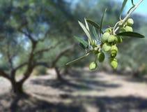Olives vertes sur l'arbre Images stock