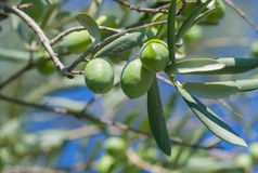 Olives vertes sur un branchement Photographie stock libre de droits