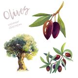 Olives watercolor hand drawn illustration royalty free stock photography