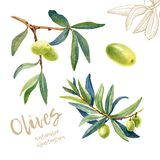 Olives watercolor hand drawn illustration stock images