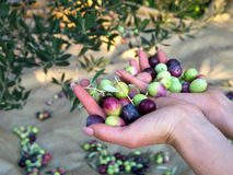 Olives in woman hand Stock Image