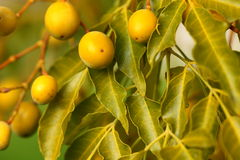Olives yellow fres and leaves Stock Photography