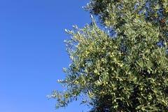 Oliveti, Andalusia, Spagna Fotografia Stock