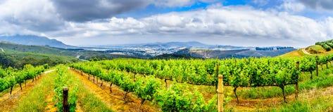 Oliveti e vigne circondati dalle montagne lungo la strada di Helshoogte fra le città di Stellenbosch e Franschhoek immagini stock libere da diritti