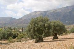 Oliveti, Kefalonia, settembre 2006 Fotografie Stock