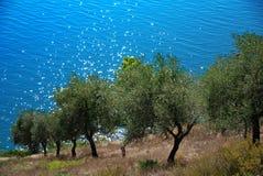 Oliveto Fotografia Stock Libera da Diritti
