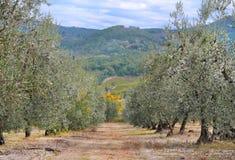 Oliveto Fotografie Stock Libere da Diritti