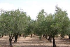Oliveto Immagini Stock